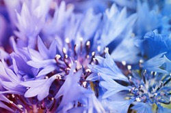 Floral soft tender  background from blue fresh cornflower defocused  macro image