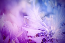 Floral soft tender  background from blue fresh cornflower defocused  macro image