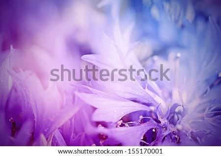 Stock Photo Floral soft tender  background from blue fresh cornflower defocused  macro image