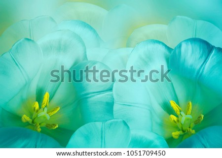 Floral  spring   turquoise  background.  Flowers  turquoise tulips blossom. Close-up. #1051709450