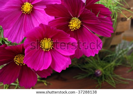 Floral still life of freshly cut cosmos in basket.  Macro with shallow dof.