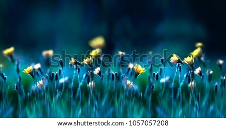 Floral summer spring background. Yellow dandelion flowers close-up in a field on nature on a dark blue green background in evening at sunset. Colorful artistic image, free copy space