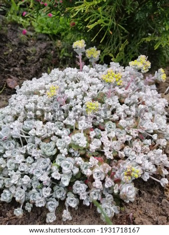 floral Wallpaper with an unusual grey Sedum Cape Blanco with thick leaves and a yellow blooming flower with small inflorescences.alpine groundcover Stockfoto ©