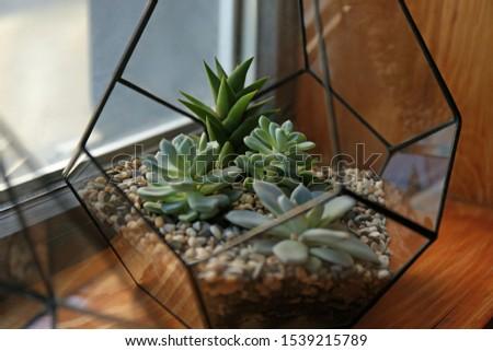 Florarium with succulents on wooden windowsill closeup