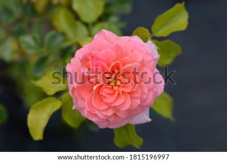 Floribunda rose Concerto 94 - Latin name - Rosa Concerto 94 Foto d'archivio ©