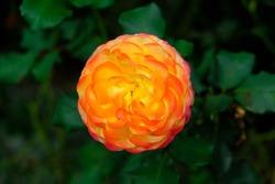 Floribunda Roses  (Latin for
