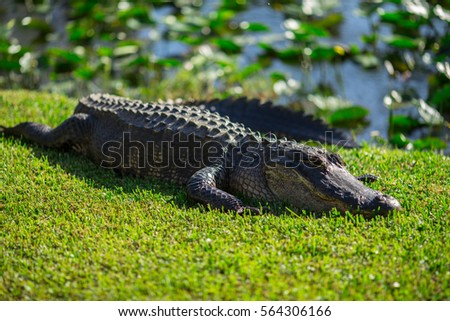 Stock Photo Florida alligators in Everglades National Park. Big Cypress National Preserve.
