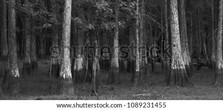 Florida Cypress Trees High Water Mark