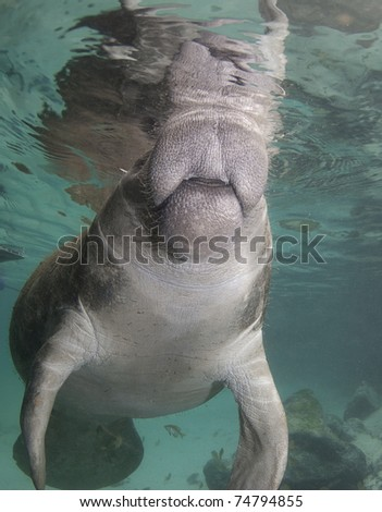 Florida manatee breaths at the surface of the water.