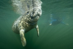 Florida manatee calf takes a breath of air while snorkeler observes