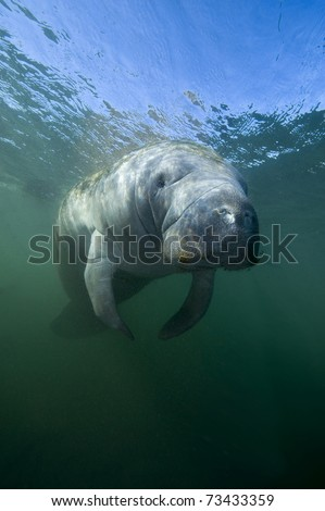Florida Manatee in Crystal River sanctuary