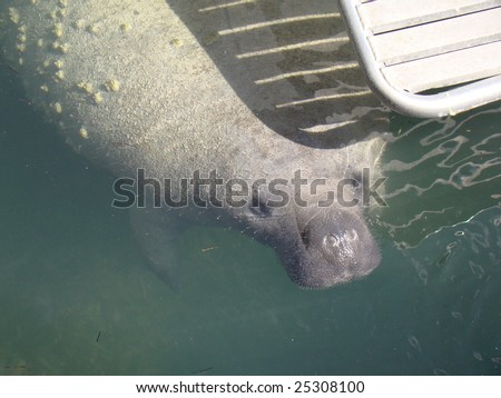 Florida Manatee Under Boat Dive Platform