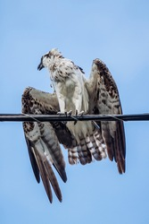 Florida Osprey took a quick break while hunting. Notice the talons and detail on his wings.