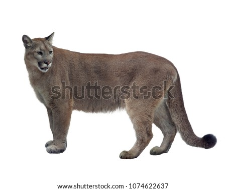Florida panther or cougar isolated on white background