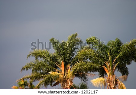 Florida royal palm crowns set against stormy sky