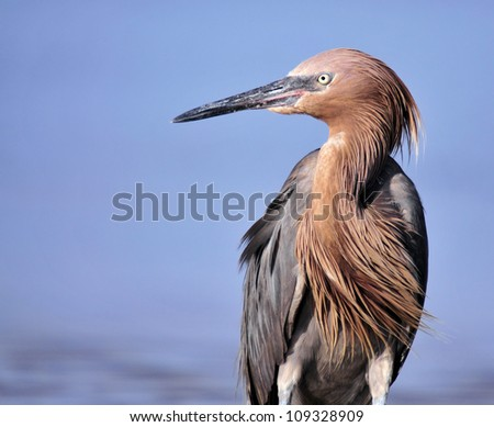 Florida's Reddish Egret / Big Red