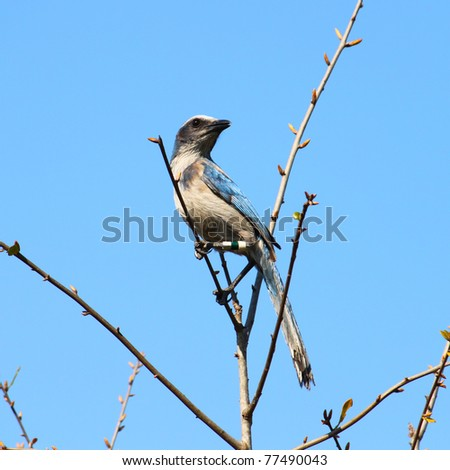 Florida Scrub Jay (Aphelocoma coerulescens) found in central Florida