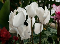 Flourish. Closeup of a Cyclamen persicum or Sowbread white flowers and beautiful petals, blooming in the garden.