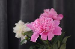 Flourished peonies in vase on dark grey background. Blossom flowers postcard