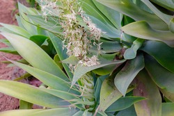 flourishing Agave attenuata, fox tail, lions tail or swans neck in bloom