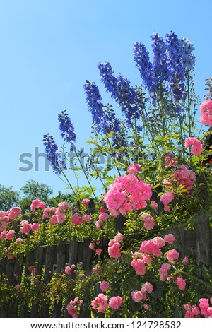 flourishing pink rose bush and blue delphinium flowers behind the garden fence, against blue sky
