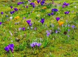 Flourishing spring meadow with various crocus flowers