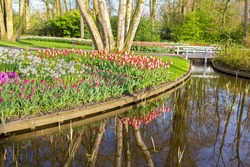 Flourishing tulips along water of pond in dutch park