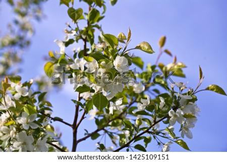 Flourishing wild apple tree branchlet. Season: Spring. Location: Western Siberia.