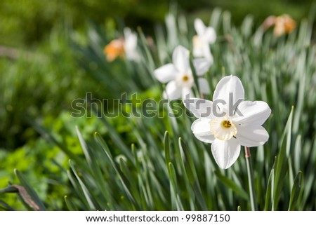 Flower a narcissus
