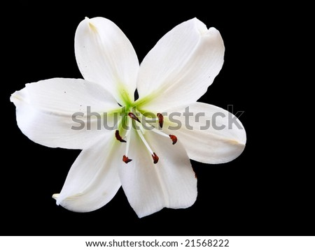 Flower - A single white easter lily on a black background.
