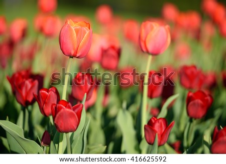 Flower. Amazing red tulip flower & green grass background. Red flower. Red tulip flower Tulip flower. Cute flower Amazing flower. Color tulips flower Colored flower. Sunny flower Awesome flower Flower