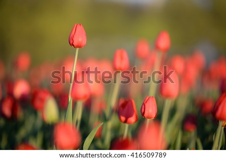 Flower. Amazing red tulips and green grass background. Red flower. Red tulip flower  Tulip flower. Cute flower. Amazing flower. Color tulips flower. Colored flower. Sunny flower. Awesome flower Flower