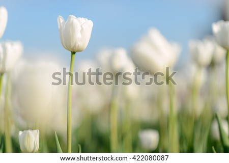 Flower. Amazing white tulip flower & green grass landscape. White flower. white tulip flower Tulip flower. Cute flower Amazing flower. tulips flower Colored flower. Sunny flower Awesome flower Flower