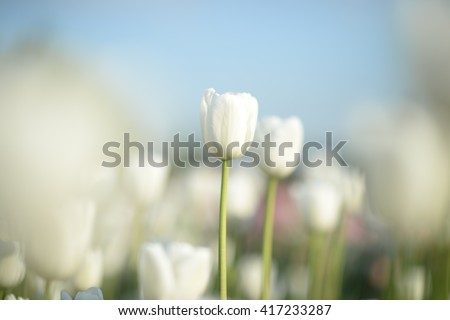 Flower. Amazing white tulips & green grass background. White flower. flower meadow. Tulip flower. Cute flower. Amazing flower. Color tulips flower. Colored flower. Sunny flower. Awesome flower Flower