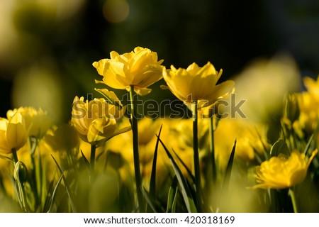 Flower. Amazing yellow tulip flower & green grass background. yellow flower. yellow tulip flower Tulip flower. Cute flower Amazing flower Color tulips flower flower. Sunny flower Awesome flower Flower