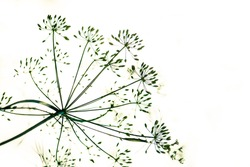 flower and dill plant close-up seeds, growing in the garden. Absrtact photo.
