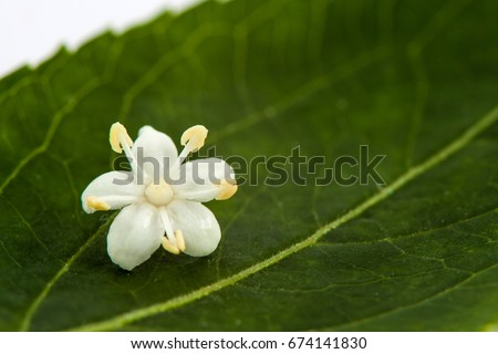Flower and leaf of elderflower (Sambucus nigra)