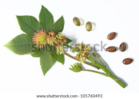 Flower and leaf of the castor plant, isolated before a white background with castor oil capsules and some seeds