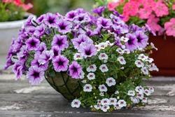 flower arrangement of purple petunias with dark veins and white calibrachoa in the garden