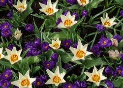 Flower arrangement of white dwarf tulips and violet crocuses in the Dutch botanical park. Foster's Tulip - variety of garden tulips for decorating flower beds and mixborders in spring parks.