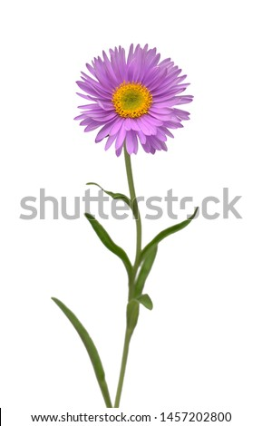 Flower aster alpine pink isolated on white background. Macro, daisy. Floral pattern, object. Flat lay, top view Foto stock ©