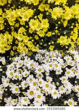 Flower bed full of yellow and white chrysanthemums half and half, seen from above. Foto stock ©