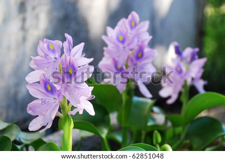 Flower bed is photographed at the moment of blooming. Focus is on the front inflorescence.
