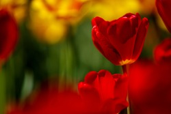 Flower bed of bright vivid red and yellow Tulips in Spring