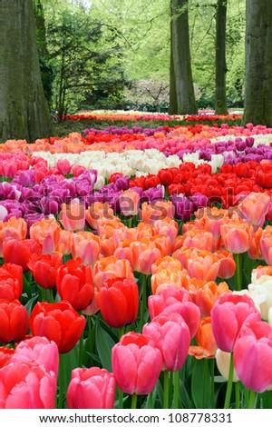 Flower bed of multicolored tulips, Keukenhof, the Netherlands