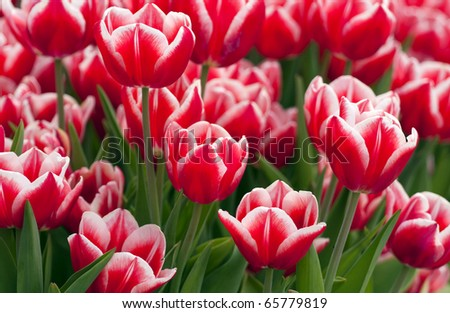 Flower bed of red tulips.