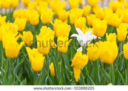 Flower-bed of yellow tulips