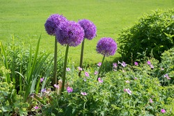 flower bed with purple allium balls and pink cranesbill, green grass background
