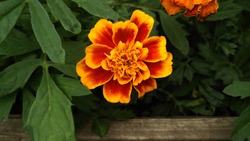 Flower bed with Tagetes florets