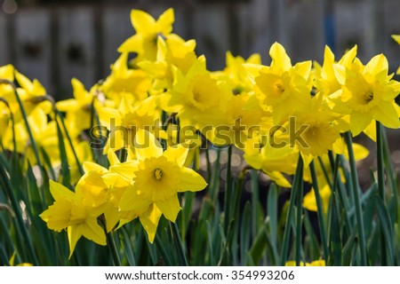 flower bed with yellow daffodil ...